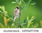 eurasian tree sparrow  passer... | Shutterstock . vector #1095697298