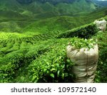 Stock photo green tea plantation landscape 109572140