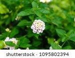 the flora white color   Shutterstock . vector #1095802394