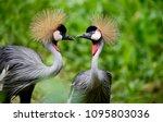 Birds Of Uganda   The Grey...