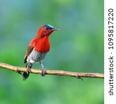 beautiful bird  male of crimson ... | Shutterstock . vector #1095817220