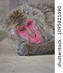 monkey forest  japan   Shutterstock . vector #1095821090