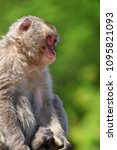 monkey forest  japan   Shutterstock . vector #1095821093