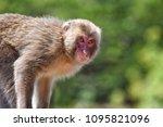 monkey forest  japan   Shutterstock . vector #1095821096