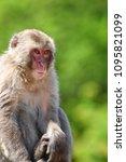 monkey forest  japan   Shutterstock . vector #1095821099