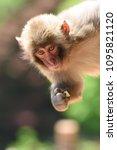 monkey forest  japan   Shutterstock . vector #1095821120