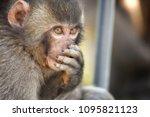 monkey forest  japan   Shutterstock . vector #1095821123