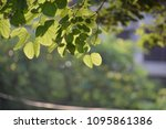 sunshine fresh green leaves ... | Shutterstock . vector #1095861386