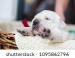 portrait of two weeks old... | Shutterstock . vector #1095862796