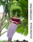 Small photo of Close up the banana stalks pith on tree.