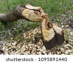 beavers build their dam on a... | Shutterstock . vector #1095891440