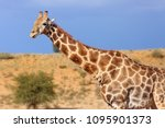 the south african giraffe ... | Shutterstock . vector #1095901373