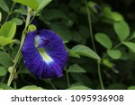 butterfly pea  clitoria... | Shutterstock . vector #1095936908