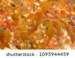 red and orange autumn leaves...   Shutterstock . vector #1095944459