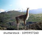 guanaco  lama guanaco  in the... | Shutterstock . vector #1095957260