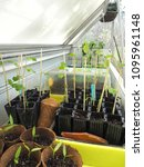 Small photo of Growing multiple vegetable seedlings in a conservatory workbench