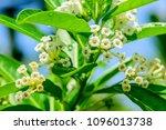 cestrum diurnum  king of the...   Shutterstock . vector #1096013738