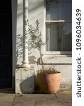 neglected olive tree in a pot...   Shutterstock . vector #1096034639