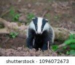 european badger  meles meles ... | Shutterstock . vector #1096072673