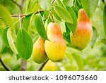 ripe pears on branch with green ... | Shutterstock . vector #1096073660