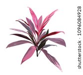 red tropical plant. cordyline... | Shutterstock . vector #1096084928