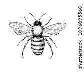 honey bee vintage drawing. hand ... | Shutterstock . vector #1096095560