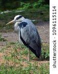 grey heron  ardea cinerea .... | Shutterstock . vector #1096115114