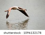 Small photo of Flamingo flying above water