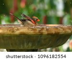 northern female cardinal closes ...