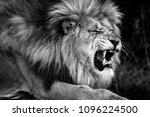 Small photo of Magnificent intimidating and aggressive wild African adult male lion. Close up portrait in black and white. National Park South Africa