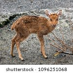 Small photo of Young Eld`s deer also known as the thamin or brow-antlered deer. Latin name - Panolia eldii