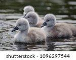 Baby Swan Cygnets
