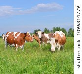 cows  on a summer pasture   Shutterstock . vector #1096314779