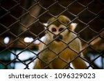 Little Squirrel Monkey In Zoo.