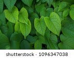 heart shaped green crinkly leaf ... | Shutterstock . vector #1096347038