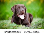 Young Labrador Retriever Puppy...