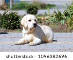 a yellow labrador puppy sitting ... | Shutterstock . vector #1096382696