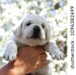 a little cute yellow labrador... | Shutterstock . vector #1096382699