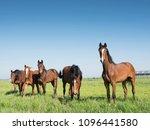 brown horses in green grassy... | Shutterstock . vector #1096441580
