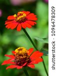 two red flowers  | Shutterstock . vector #1096478309