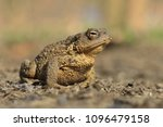 common toad siting on the... | Shutterstock . vector #1096479158