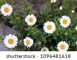 camomiles close up. flowers   Shutterstock . vector #1096481618