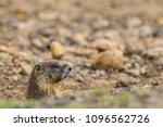 yellow bellied marmot peaking... | Shutterstock . vector #1096562726