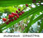 Small photo of Red cede of tree