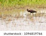 white faced ibis in wetlands | Shutterstock . vector #1096819766