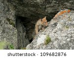 A Coyote Pup Explores The Worl...