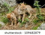 Two Coyote Pups Explore The...