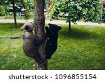 young brown and himalayan bear... | Shutterstock . vector #1096855154
