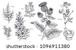 set of isolated medical plants  ... | Shutterstock .eps vector #1096911380