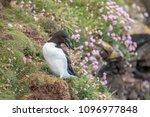 razorbill on the edge of a... | Shutterstock . vector #1096977848